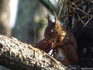 Un écureuil grignote une pigne de pin